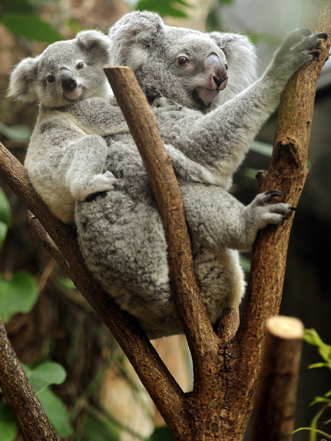A young koala sits on the back of its mother in their enclosure at the Zoo in Duisburg, Germany, on March 27, 2013. The young animal is one of two baby koalas, that were born in the zoo six months ago. (Photo by Marius Becker/AFP Photo)