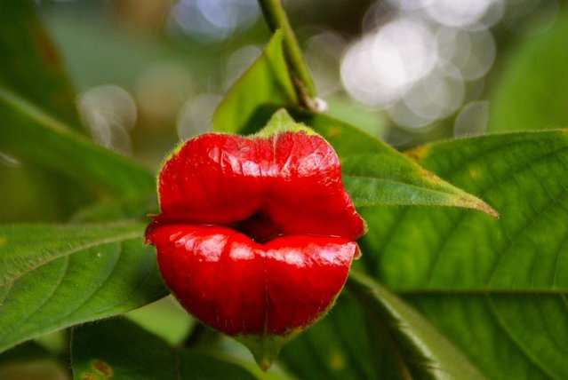 A Kiss From Mother Nature - Psychotria Elata