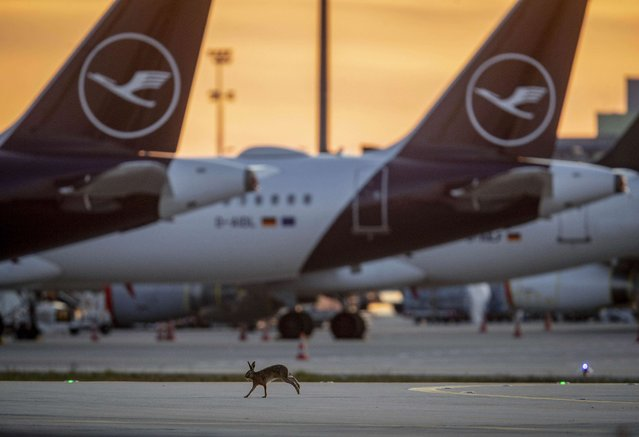 A hare runs along grounded Lufthansa planes at the airport in Frankfurt, Germany, Saturday, April 11, 2020. Due to the coronavirus Lufthansa had to cancel 95 percent of its flights. (Photo by Michael Probst/AP Photo)