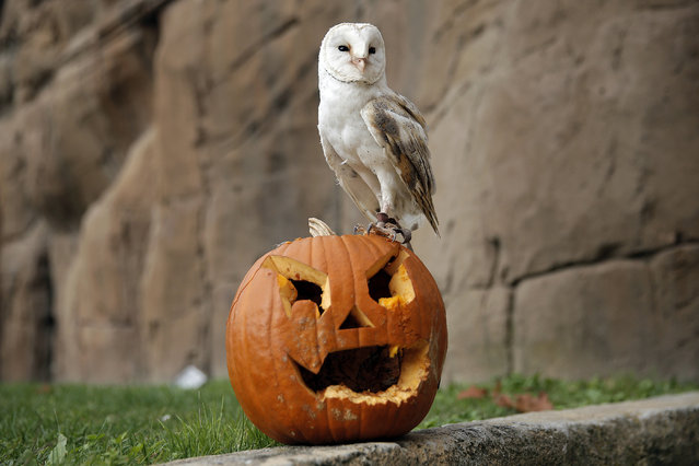 A barn owl stands on a jack-o-lantern carved from a pumpkin and used to symbolise Halloween or All Saints' Eve at the Zoom Torino zoo and amusement park in Cumiana, near Turin, northern Italy, on October 28, 2016, few days ahead of Halloween. (Photo by Marco Bertorello/AFP Photo)