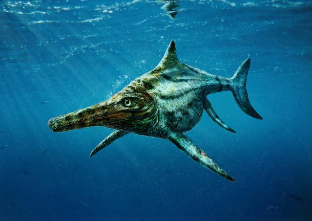 The newly identified prehistoric marine reptile Dearcmhara shawcrossi, a member of a group called ichthyosaurs that swam the world's oceans at the same time that dinosaurs ruled the land, is depicted in this handout illustration provided by Todd Marshall. Scientists have announced the discovery of the fossil remains of the dolphin-like seagoing reptile on Scotland's Isle of Skye that lived about 170 million years ago and was about 14 feet (4.3 meters) long. (Photo by Todd Marshall/Reuters)