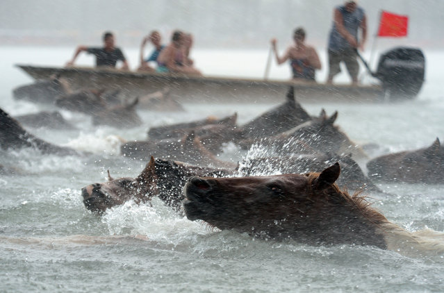 Chincoteague Ponies swim across Assateague Channel in a heavy downpour on Wednesday, July 24, 2013 during the 88th Annual Chincoteague Pony Swim. A portion of the herd will be auctioned on Thursday. (Photo by Jay Diem/AP Photo/Eastern Shore News)