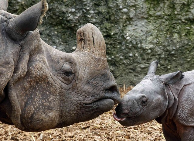Nine-day old male Indian rhinoceros Jari stands beside his 18-year old mother Quetta in an outdoor enclosure at the zoo in Basel September 18, 2012.  Jari  was born last Monday weighing around 60 kilos (132.3 pounds).     REUTERS/Arnd Wiegmann