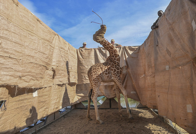 In this image released by World Press Photo, Thursday April 15, 2021, by Ami Vitale for CNN, titled Rescue of Giraffes from Flooding Island, which won the first prize in the Nature Singles category, shows A Rothschild's giraffe (Giraffa camelopardalis rothschildi) is transported to safety in a custom-built barge from a flooded Longicharo Island, Lake Baringo, in western Kenya, on Dec. 3, 2020. (Photo by Ami Vitale for CNN, World Press Photo via AP Photo)