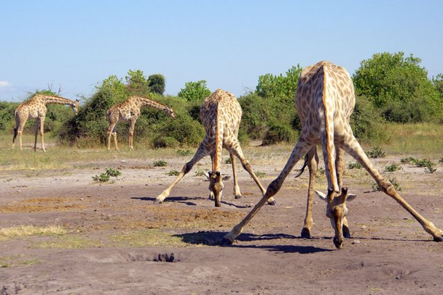 """Photographer Chantelle Stobbe captured this group of four giraffes appearing to practise for Strictly as they """"danced"""" together near the Chobe River in Botswana, on September 8, 2013. (Photo by Chantelle Stobbe/Barcroft Media)"""