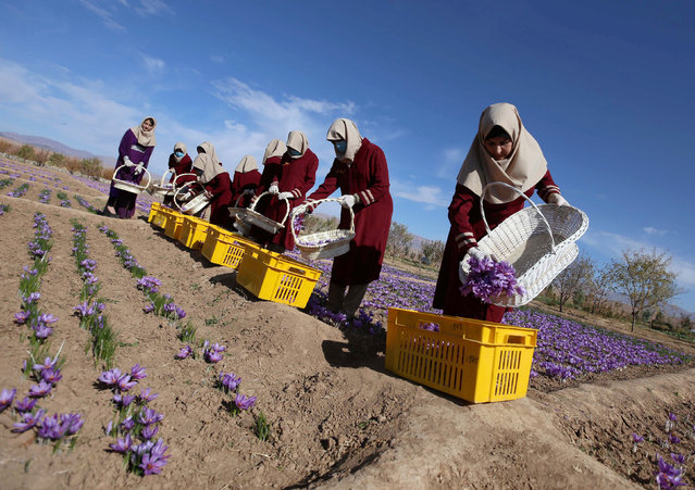 Afghan women collect saffron flowers in the Karukh district of Herat, Afghanistan, November 5, 2016. (Photo by Mohammad Shoib/Reuters)