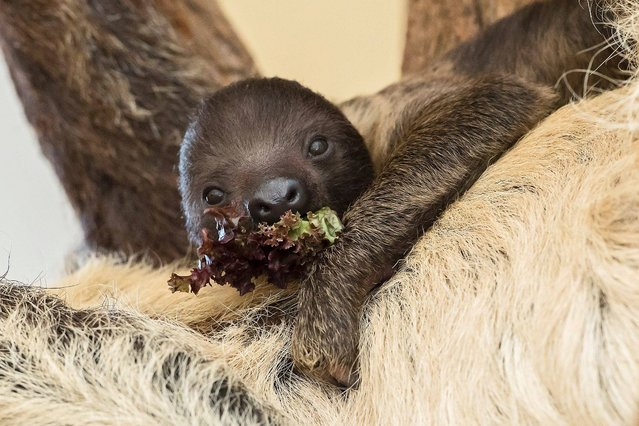This handout picture taken on December 13, 2016 and released on December 14, 2016 by the Tiergarten Schoenbrunn zoo in Vienna, Austria, shows a baby sloth eating some salad as it hangs on it's mother's belly in their enclosure. The baby was born already on November 18, 2016, but according to the zoo it could be picured for the first time only now as it usually hides in it's mother's soft coat. (Photo by Daniel Zupanc/AFP Photo)