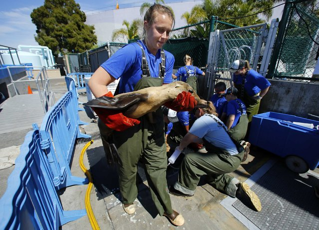 Animal Care Specialist Nicole Simon carries a malnourished sea lion as her team help tube feed 60 recently rescued pups at Sea World in San Diego, California March 17, 2015. Animal rescue centers in California are being inundated with stranded, starving sea lion pups, with SeaWorld haven taken in nearly 500 of the starving animals, according to SeaWorld spokeswoman Kelly Terry. (Photo by Mike Blake/Reuters)
