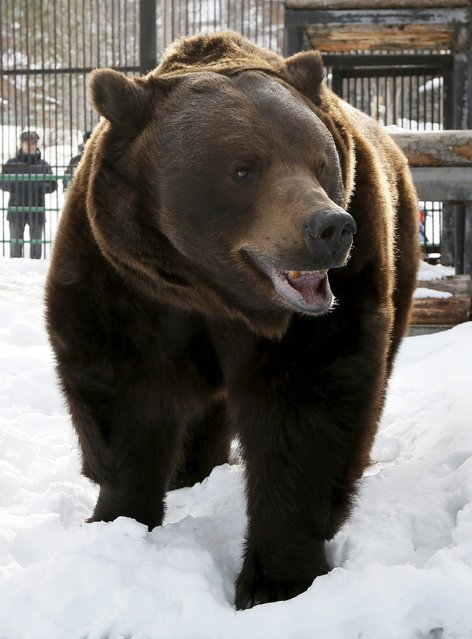 Buyan, a 15-year-old male Siberian brown bear, walks in its enclosure as he wakes up after winter hibernation at the Royev Ruchey zoo in a suburb of Russia's Siberian city of Krasnoyarsk March 22, 2015. (Photo by Ilya Naymushin/Reuters)