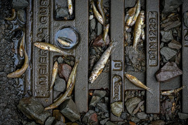Dead fish lie on a blocked gully caused by flooding after the Volme River burst its banks on July 16, 2021 near by Hagen in Dahl, Germany. At least 81 people have been killed in devastating floods in western Germany with emergency services continuing to search for hundreds of people still missing in the worst hit states of North Rhine-Westphalia and Rhineland-Palatinate. (Photo by Sascha Schuermann/Getty Images)