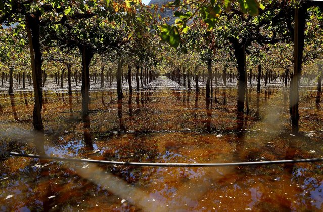 A view of a vineyard covered in waste waters from sewers damaged due to flooding in Los Loros town April 7, 2015. (Photo by Ivan Alvarado/Reuters)