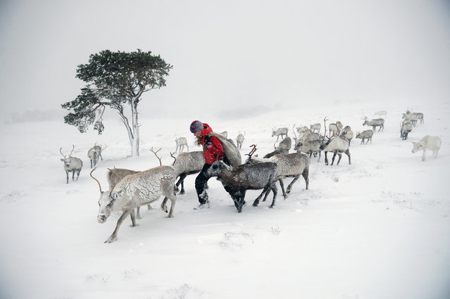 Eve Grayson, a Reindeer herder of the Cairngorm Reindeer Herd, feeds the deer on December 23, 2013 in Aviemore, Scotland. Reindeer were introduced to Scotland in 1952 by Swedish Sami reindeer herder, Mikel Utsi. Starting with just a few reindeer, the herd has now grown in numbers over the years and is currently at about 130 by controlling the breeding. The herd rages on 2,500 hectares of hill ground between 450 and 1,309 meters and stay above the tree line all year round regardless of the weather conditions. (Photo by Jeff J. Mitchell/Getty Images)