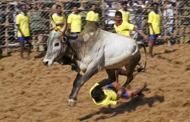 A decorated bull tramples on a bull tamer during the bull-taming sport called Jallikattu, in Palamedu, about 575 kilomters (359 miles) south of Chennai, India, Tuesday, January 15, 2013. (Photo by Arun Sankar K./AP Photo)