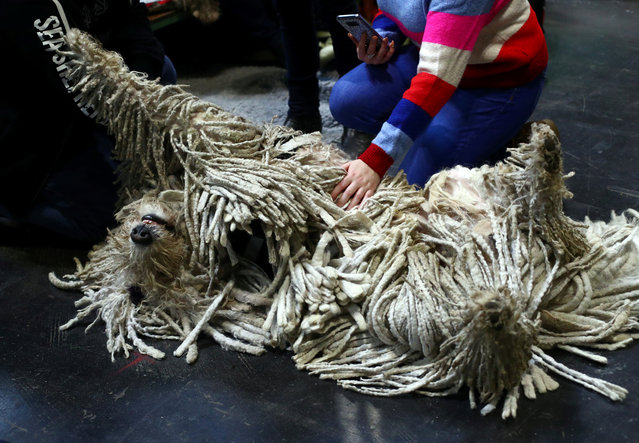 A Komondor relaxes during the second day of the Crufts Dog Show in Birmingham, Britain, March 8, 2019. (Photo by Hannah McKay/Reuters)