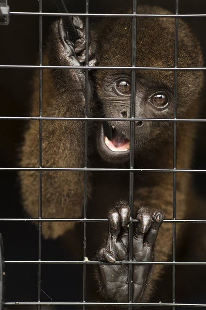 In this April 18, 2015 photo, a rescued monkey looks out from a travel pet carrier, sitting on the tarmac at a military airport in Lima, Peru. The British charity Animal Defenders International, with the assistance of Peru's air force and navy, organized a rehoming and a airlift from Lima, of a group of animals rescued from circuses or wild animal traffickers, to a sanctuary in Peru's Amazon rainforest. (Photo by Rodrigo Abd/AP Photo)