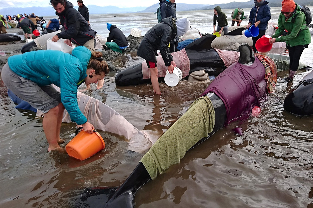 New Zealand Rescuers Refloat 100 Stranded Whales