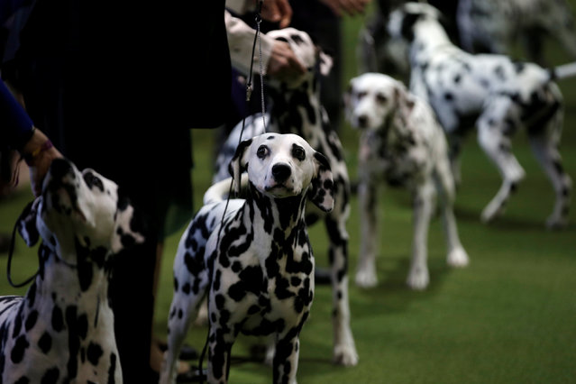 Dalmatian's stand in the ring during competition at the 141st Westminster Kennel Club Dog Show in New York City, February 13, 2017. (Photo by Mike Segar/Reuters)