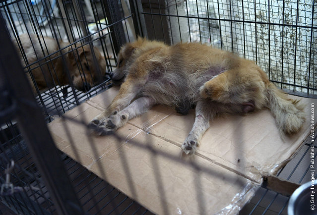 A disabled dog rests in a cage at an animal rescue center