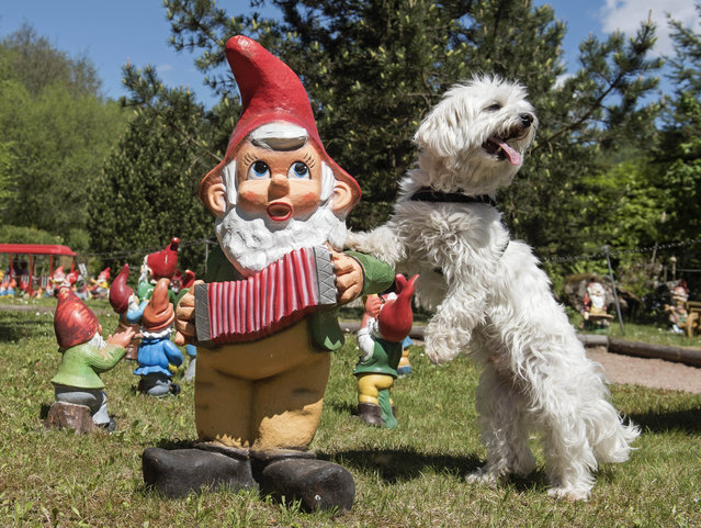 A maltese dog plays with a gnome in Germany's Garden Gnome Park (Zwergen-Park) in Trusetal, central Germany, Thursday, May 14, 2015. Every year up to 100,000 tourists visit the Garden Gnome Theme Park. The park shows more than 2,500 garden gnomes. (Photo by Jens Meyer/AP Photo)