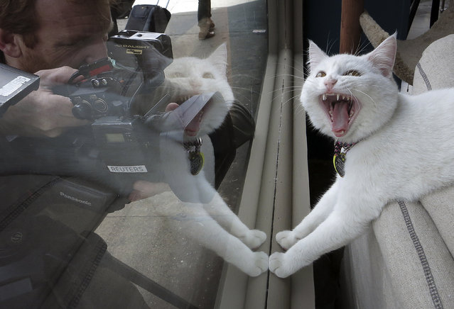 A TV cameraman films a cat at the cat cafe in New York April 23, 2014. The cat cafe is a pop-up promotional cafe that features cats and beverages in the Bowery section of Manhattan. (Photo by Carlo Allegri/Reuters)
