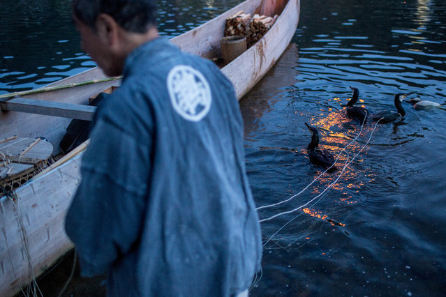 """A boatman holds onto sea cormorants with the hand strings as he prepares the birds for the nights """"Ukai"""" on July 2, 2014 in Gifu, Japan. In this traditional fishing art """"ukai"""", a cormorant master called """"usho"""" manages cormorants to capture ayu or sweetfish. The ushos of River Nagara have been the official staff of the Imperial Household Agency of Japan since 1890. Currently six imperial fishermen of Nagara River conduct special fishing to contribute to the Imperial family eight times a year, on top of daily fishing from mid-May to mid-October. (Photo by Chris McGrath/Getty Images)"""
