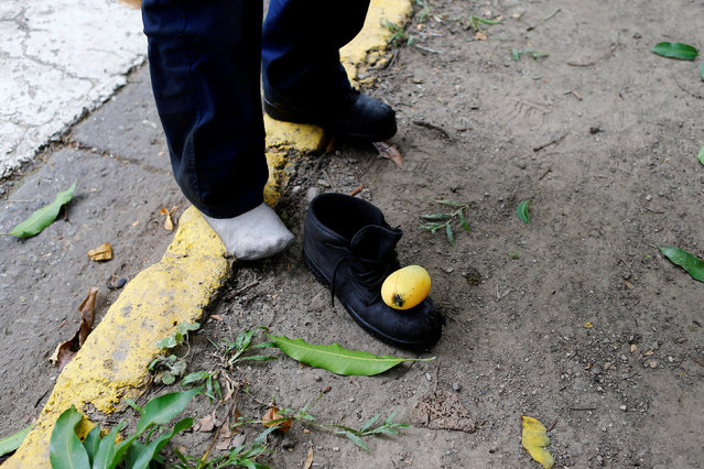 A mango fruit is seen on a safety shoe that it is used to dislodge fruits from a mango tree during their lunch break in Caracas, Venezuela, June 17, 2016. (Photo by Ivan Alvarado/Reuters)