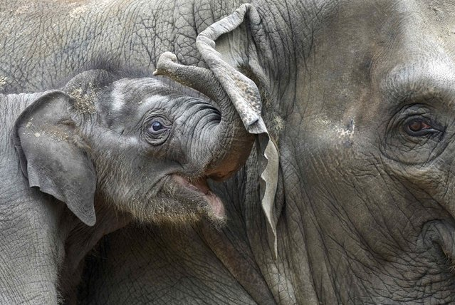 Four-week-old elephant Anjuli cuddles with his brother Assam in Hagenbeck Zoo in Hamburg, northern Germany August 12, 2015. (Photo by Fabian Bimmer/Reuters)
