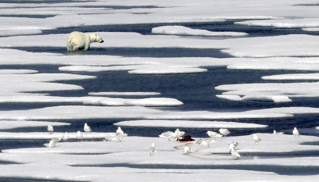 A polar bear walks away after feasting on the carcass of a seal on the ice in the Franklin Strait in the Canadian Arctic Archipelago, Saturday, July 22, 2017. No Arctic creatures have become more associated with climate change than polar bears. The U.S. Fish and Wildlife Service estimated in January that about 26,000 specimens remain in the wild. (Photo by David Goldman/AP Photo)