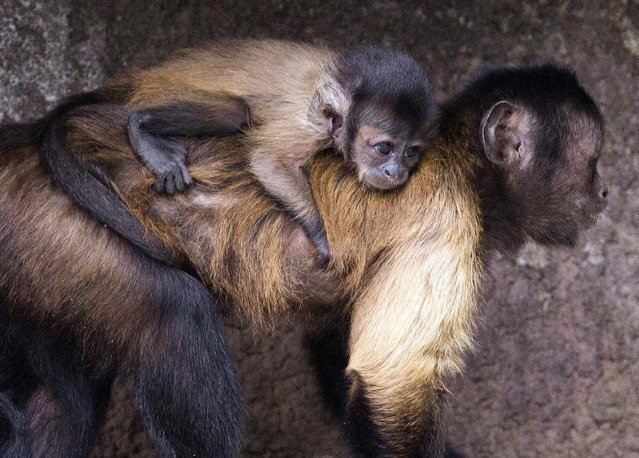 A baby black cap capuchin monkey is seen hanging to its mother  at the Olmense Zoo in Olmen, Belgium, September 2, 2015. (Photo by Yves Herman/Reuters)