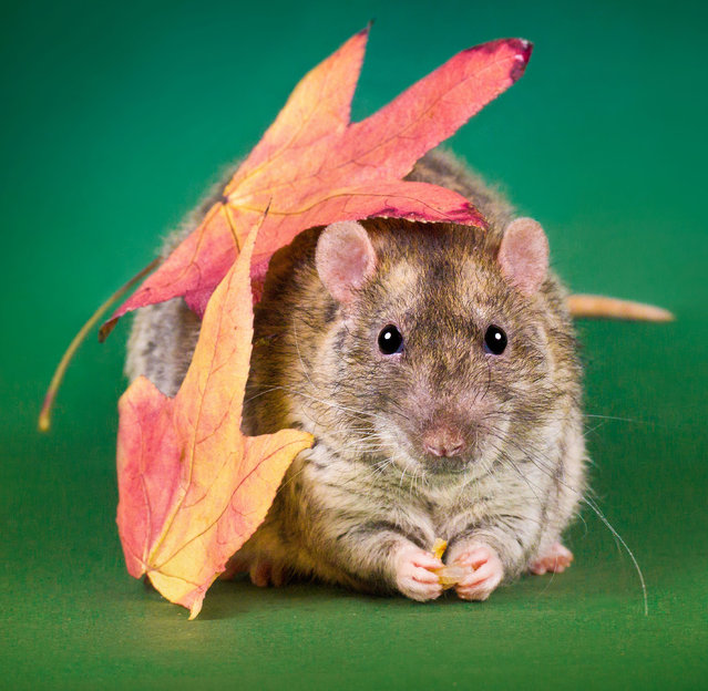 Adorable rat portraits look to remove stigma attached to rodents. (Photo by Diane Ozdamar/Caters News)