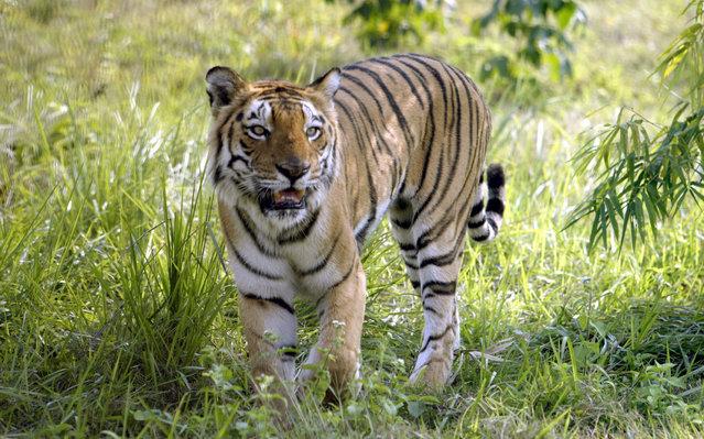 An Indian Royal Bengal tiger walks inside its enclosure at the South Khairbari nature park, about 165 km (103 miles) north of Siliguri November 28, 2006. (Photo by Rupak De Chowdhuri/Reuters)