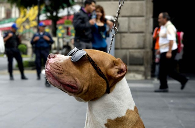 """A dog wearing sunglasses is walked by its owner in the historic centre of Mexico City during the """"World Day without Cars"""" on September 22, 2014. With the purpose of improving air quality, the Mexican Municipality called for citizens not to use their cars and closed the streets and avenues that cross the historical centre. (Photo by Yuri Cortez/AFP Photo)"""