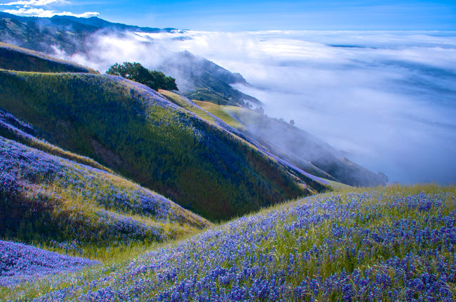 """""""Above Big Sur"""". I'd gone to Big Sur to watch the gray whale migration from the cliffs, but it was too foggy to even see the water. I decided to hike up the Baronda Trail to see if I could get above the fog. This view was my reward. Miles of lupine and blue skies. Outstanding! Photo location: Big Sur, California. (Photo and caption by Douglas Croft/National Geographic Photo Contest)"""