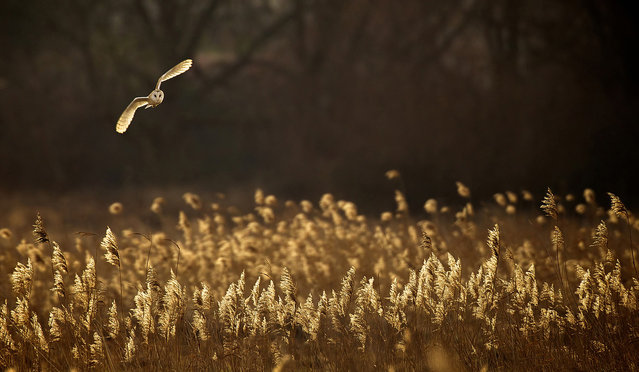 """Hunting at Dusk: A wild barn owl hunting over the Norfolk reeds, the evening light lit up the owl and the reeds to give them both the same colour and warmth"". (Photo and comment by Mark Bridger/National Geographic Photo Contest via The Atlantic)"