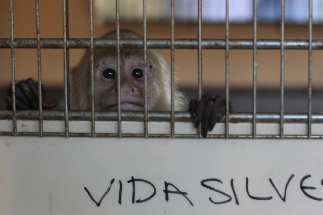 A white-headed capuchin monkey is seen in a cage during a news conference in San Salvador October 29, 2014. Authorities of the Ministry of Enviroment of El Salvador rescued about 100 endangered animals abandoned in a dumpster near the border with Honduras on Wednesday morning, local media reported. More than 90 turtles, monkeys and parrots were found in plastic bags ready to be smuggled into Salvadorean territory. (Photo by Jose Cabezas/Reuters)