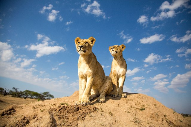 Two 18-month old lion cubs are seen at the Antelope Park, in Gweru, Zimbabwe, November 8, 2014. Lion walk was introduced to Antelope Park over a decade ago as part of an on-going conservation program to save African lions, whose population had dropped about 70 percent in the past two decades to estimatedly 320,000. (Photo by Caters News)