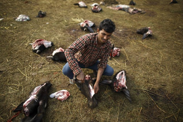 "A man removes the tongue from the head of a sacrificed buffalo the day after the sacrificial ceremony of the ""Gadhimai Mela"" festival held in Bariyapur November 29, 2014. (Photo by Navesh Chitrakar/Reuters)"