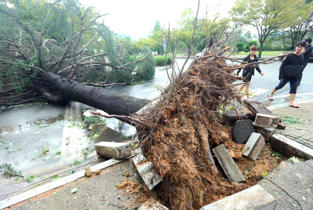 A tree is uprooted by strong wind caused by Typhoon Chaba in the southern city of Changwon on October 5, 2016. (Photo by AFP Photo/Yonhap)