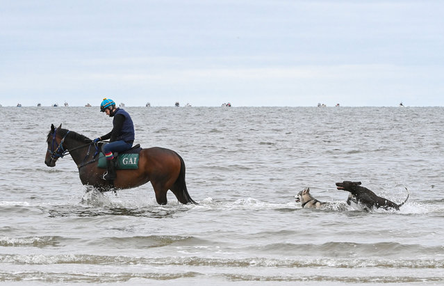 Shout The Bar who won yesterdays Group 1 Empire Rose stakes is seen with dogs playing in the water during a recovery session at Altona beach on November 01, 2020 in Melbourne, Australia. (Photo by Vince Caligiuri/Getty Images)