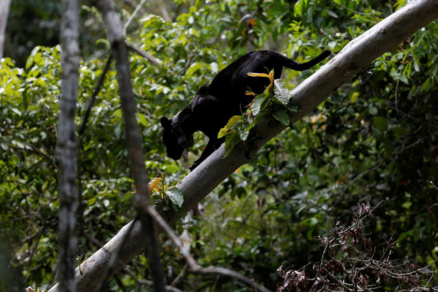 A black male jaguar climbs down a tree branch at the Mamiraua Sustainable Development Reserve in Uarini, Amazonas state, Brazil, June 1, 2017. (Photo by Bruno Kelly/Reuters)