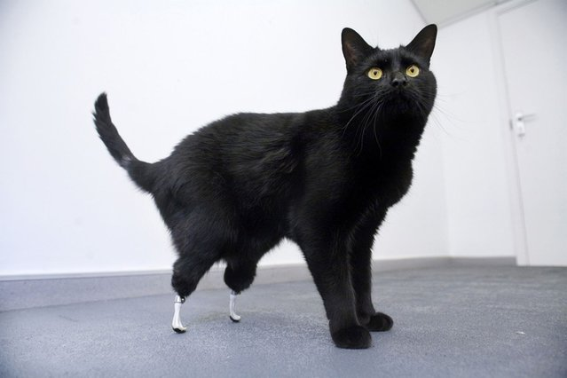 Oscar the cat, which had its hind legs severed by a combine harvester, stands in this undated handout. Two-year-old Oscar can walk again after being fitted with prosthetic limbs in a world-first operation. Oscar was given a pair of artificial limbs by veterinary surgeon Noel Fitzpatrick, using a technique developed by a University College London team. (Photo by Reuters/Handout)