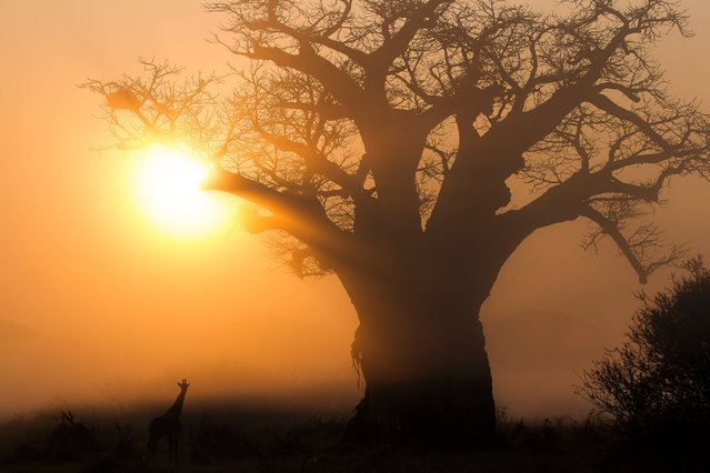 """I think this image speaks for itself. Two iconic species of the African continent, backlit by a sunrise. A Baobob tree and a giraffe stand serenely on a perfect morning, a new day in Africa"". (Photo by Chris Renshaw)"
