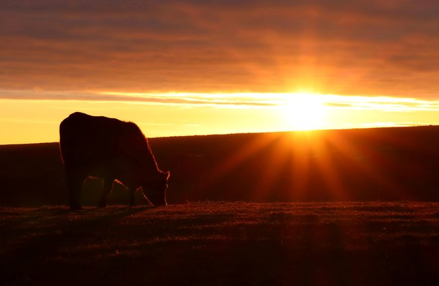 A cow grazes in a field as the sun sets at Ditchling Beacon on the South Downs in Ditchling, Britain, January 10, 2021. (Photo by Adam Oliver/Reuters)
