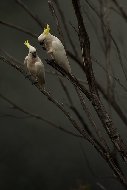"""Sulphur Crested Cockatoos on a misty morning"". Two Sulphur Crested Cockatoos enjoying chewing on wet twigs on a misty morning in the Blue Mountains, New South Wales, Australia. (Photo and caption by Jackie Curtis/National Geographic Traveler Photo Contest)"