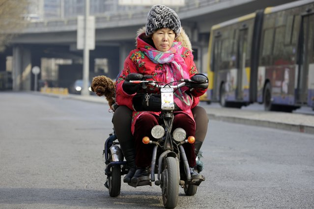 A woman rides an electric tricycle carrying a poodle on a road in Beijing January 20, 2015. (Photo by Jason Lee/Reuters)