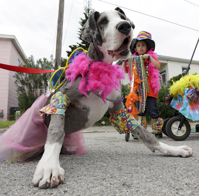 Diesel Del Bosque, right, waits with his dog Zoe for the start of the Krewe of Barkus and Meoux parade along the seawall in Galveston, Texas, Sunday, February 15, 2015. The parade is sponsored by the Galveston Island Humane Society as a way to involve family pets in the spirit of Mardi Gras. (Photo by David J. Phillip/AP Photo)
