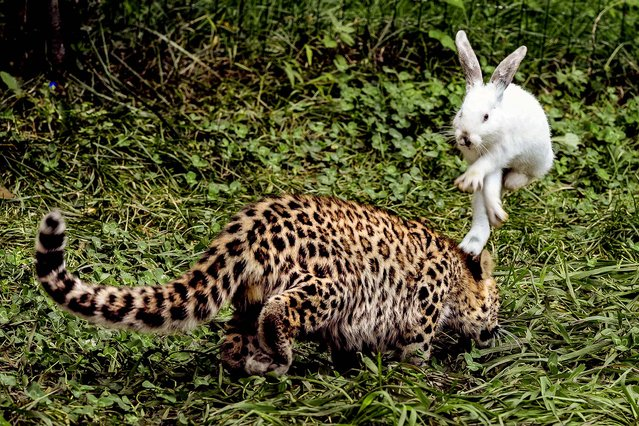 A rabbit hops to avoid a five-month-old leopard cub during a test of cubs' wild natural instincts at a wildlife park in Qingdao, Shandong province, on September 10, 2013. The test is part of the park's body examination procedure on recent born tigers, lions and leopards. (Photo by Reuters)