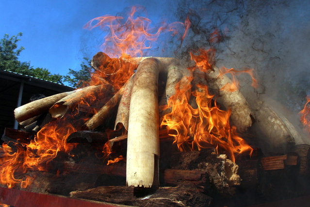 Flames rise from confiscated pieces of ivory as they are burned along with illegal wildlife parts by Myanmar's Ministry of Natural Resources and Environmental Conservation in Naypyidaw, Myanmar on October 4, 2018. (Photo by Myo Kyaw Soe/Reuters)