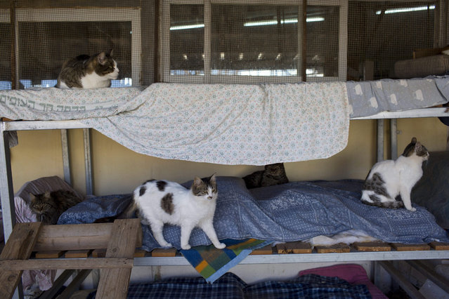 Street cats rest in the shelter house for feral cats at the SPCA (Society for Prevention of Cruelty to Animals) in Jerusalem, Israel, 13 January 2016. (Photo by Abir Sultan/EPA)