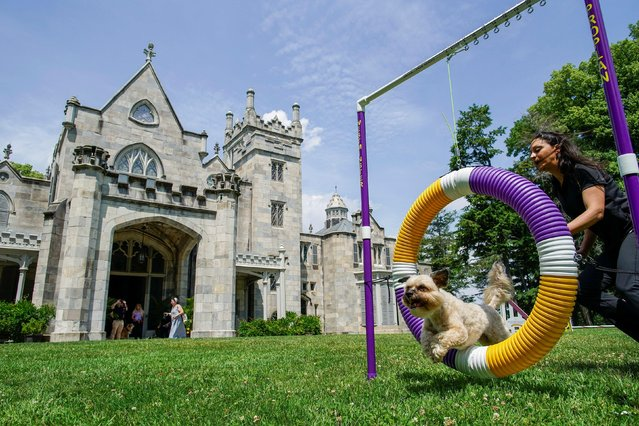 """An """"All-American Dog"""" jumps through a hoop in the Agility demonstration during the press preview ahead of the 145th Westminster Kennel Club Dog Show at Lyndhurst Mansion in Tarrytown, New York, U.S., June 8, 2021. (Photo by Eduardo Munoz/Reuters)"""